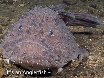 Creatures of the Deep: Anglerfish - Science Video