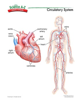 Science a z inside living things grades 5 6 science unit science diagrams science diagram teachers guide circulatory system ccuart Choice Image