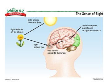 The Sense of Sight - Science Diagram